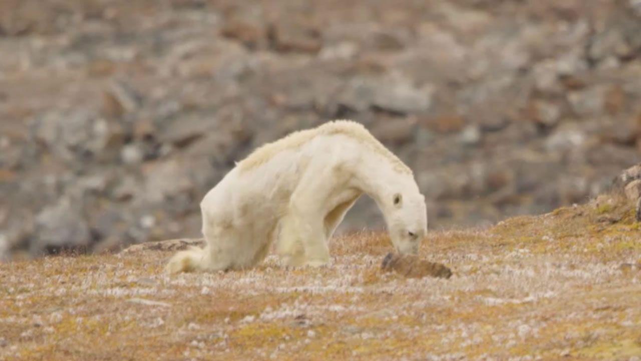 Este vídeo de un oso polar hambriento y moribundo muestra que el cambio climático está acabando con la vida silvestre