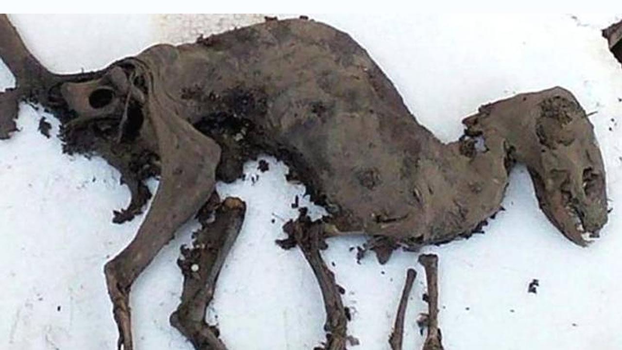 Hallan supuesto dinosaurio con carne aún en sus huesos