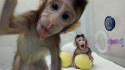 China clona macacos con método de oveja Dolly, ¿posible clonación humana?