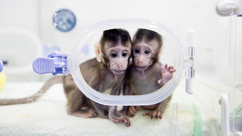 Los macacos clonados Zhong Zhong y Hua Hua, en un laboratorio de la Academia China de las Ciencias
