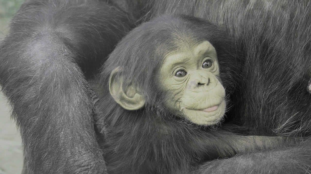 Científico afirma que un híbrido humano-chimpacé nació en un laboratorio de EE.UU. hace 100 años