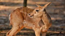 Enfermedad de los «ciervos zombies» podría infectar a humanos, según nuevo estudio