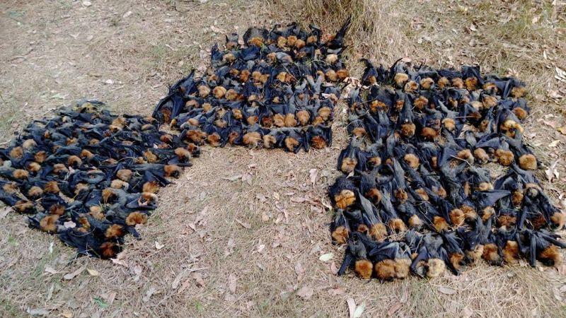 Cientos de zorros voladores de la colonia Campbelltown murieron durante el calor extremo del domingo