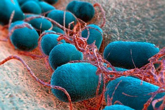 Bacilo Mycobacterium leprae, que causa la enfermedad de la Lepra. Afecta principalmente la piel, mucosa de las vías respiratorias, nervios periféricos y los ojos.