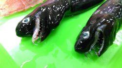Extraños tiburones con mandíbulas extensibles han surgido en Taiwan