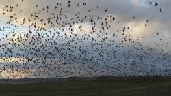 Cielo de Roma es invadido por pájaros, como en una película de terror
