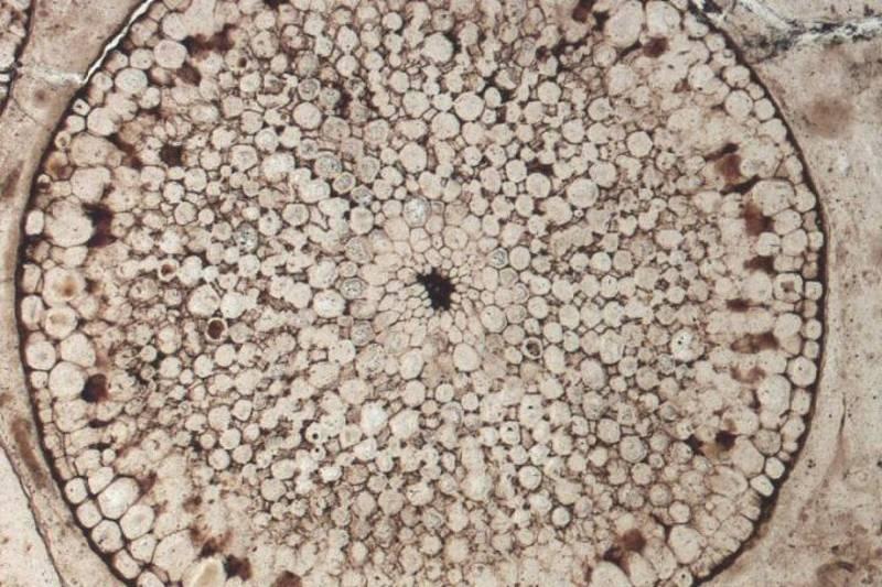 El fósil de una planta de 400 millones de años proveniente de Aberdeenshire, Escocia