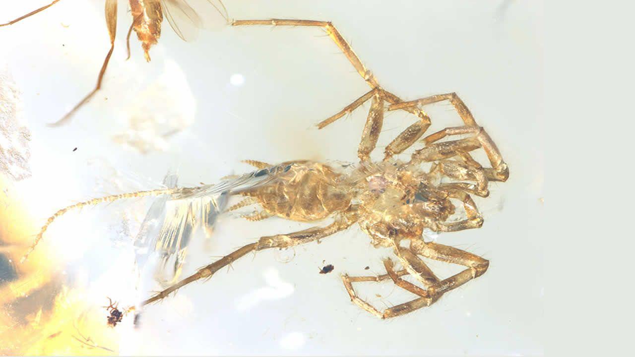 Hallan sorprendente araña con cola de 100 millones de años conservada en ámbar