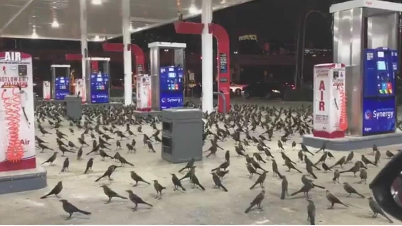 Miles de pájaros invaden ciudades de Texas, EE.UU.