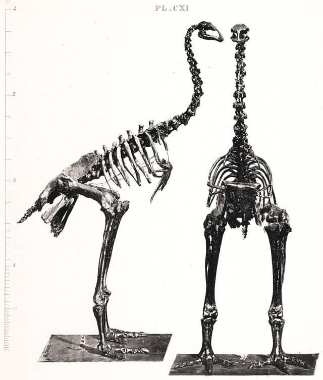 Anomalopteryx