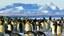 Descubren una supercolonia oculta de 1.5 millones de pingüinos