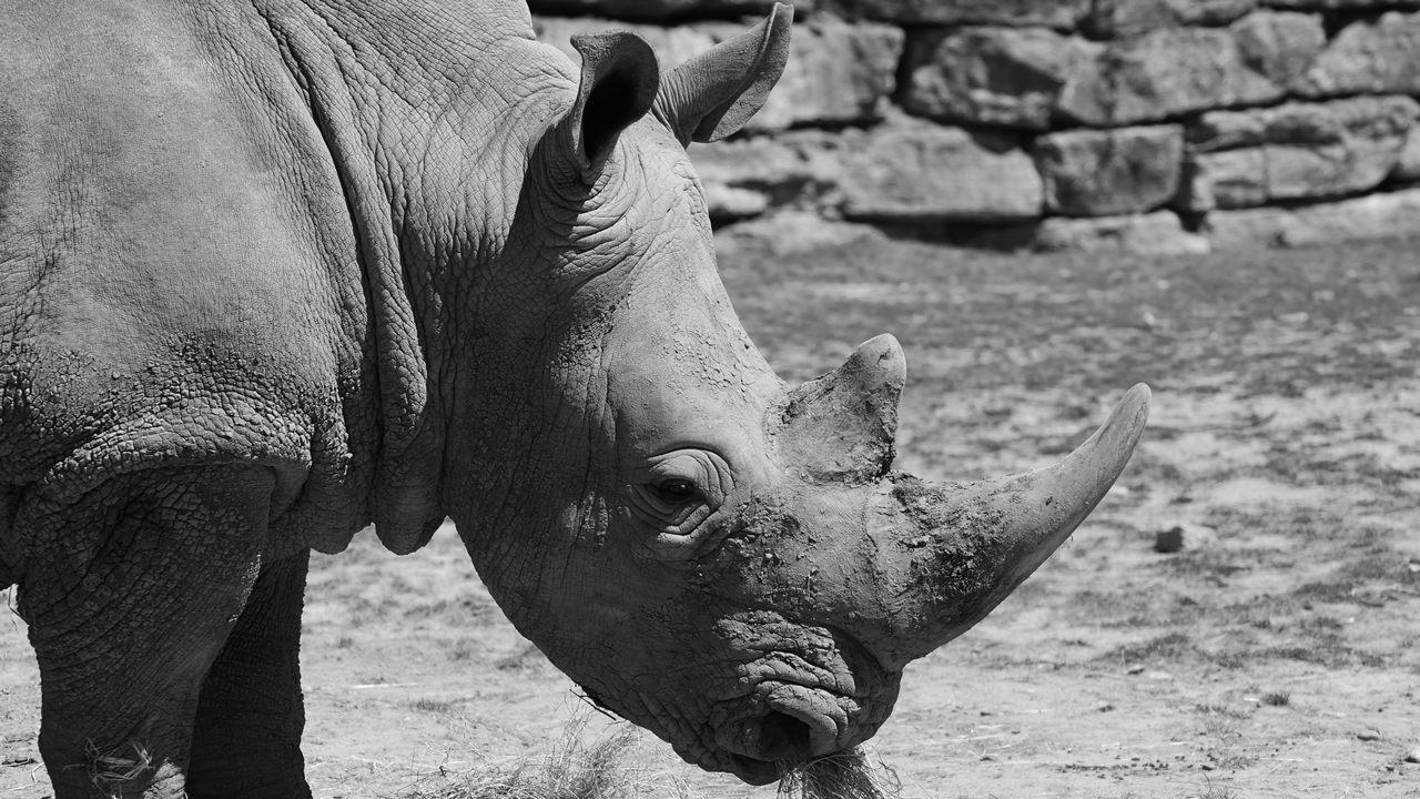 El último rinoceronte blanco del norte ha muerto