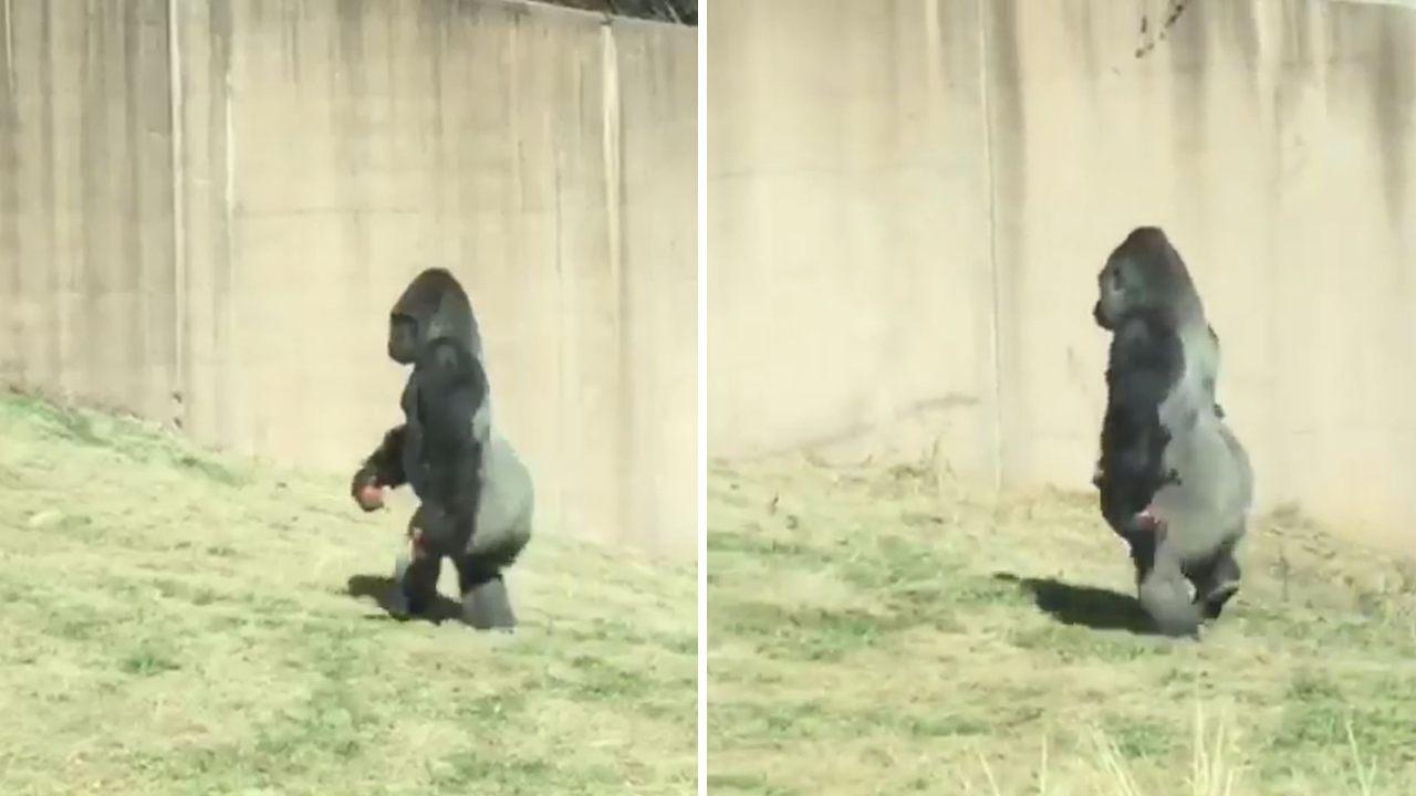 Gorila camina erguido sobre sus dos patas para no ensuciarse las manos (Vídeo)