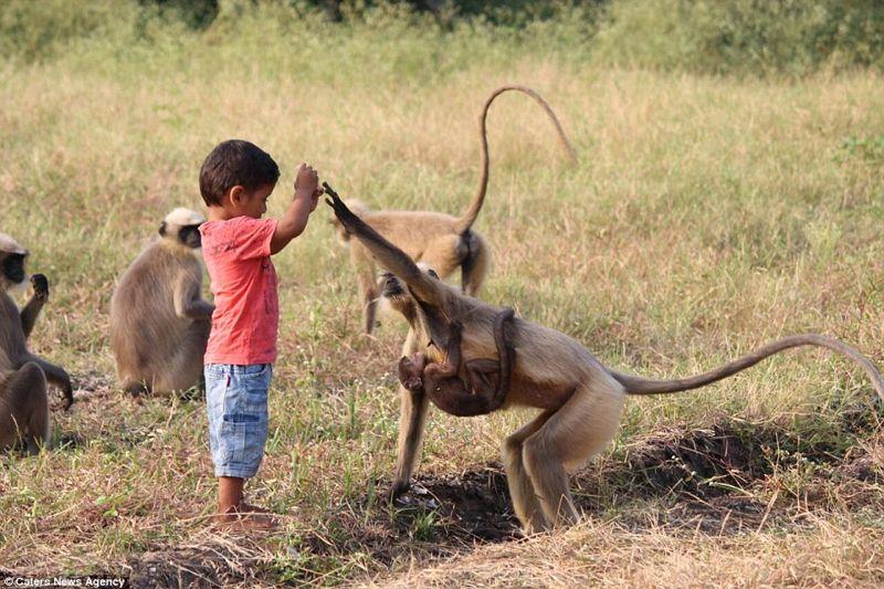 Comparte su comida y juega con un grupo de monos en su patio mientras lo visitan, algunos valientes incluso entran a su habitación para despertarlo todos los días a las 6 de la mañana