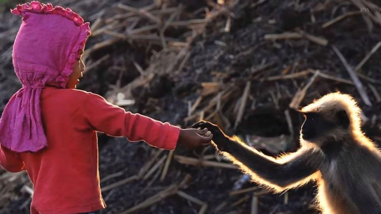 Niño de dos años en India puede controlar extrañamente a decenas de monos salvajes