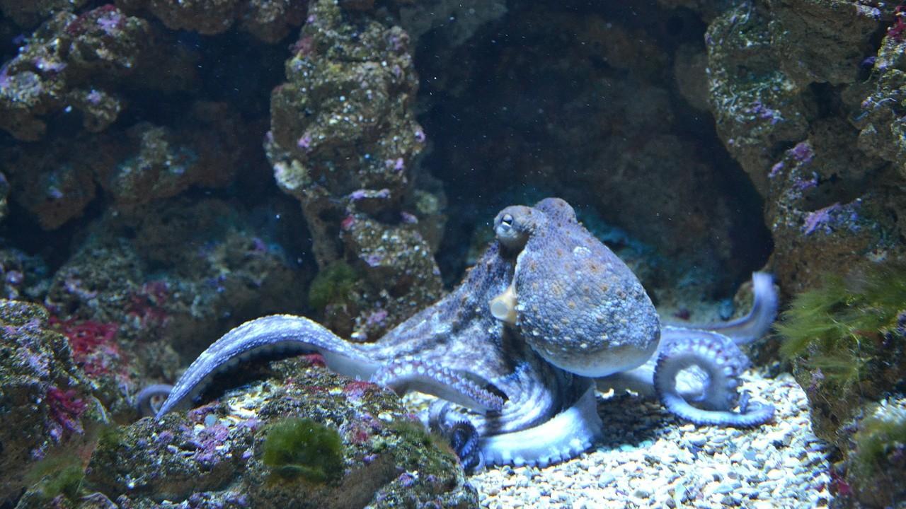 Sorprendente: Pulpos y calamares pueden editar sus propios genes