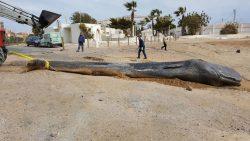 España: Hallan un cachalote muerto con 29 kilos de plástico en el estómago
