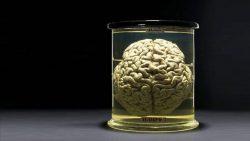 Mantienen vivos cerebros de cerdo fuera de sus cuerpos por primera vez