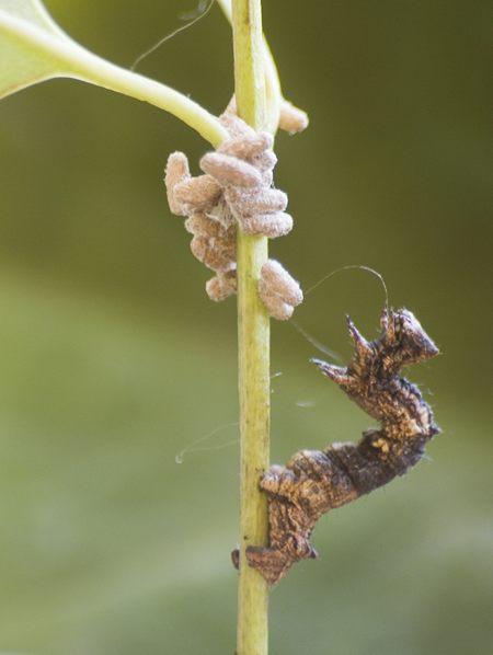 Una oruga de la polilla geométrida, Thyrinteina leucocerae, con pupas de la avispa parasitoide bracónida Glyptapanteles