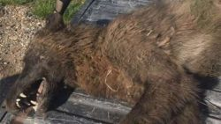 Cazan una misteriosa criatura, más grande que un lobo, en un rancho de Montana, EE.UU.