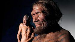 Científicos cultivarán mini cerebros neandertales en laboratorio