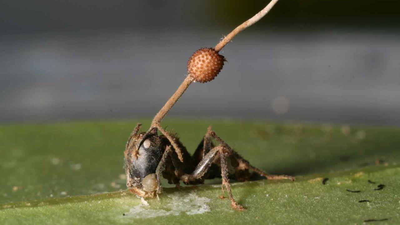 Estos parásitos pueden controlar la mente de insectos y reanimar a los muertos