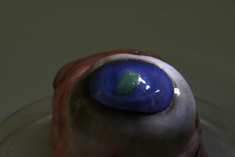 En la imagen puede verse una membrana láser unida a una lente de contacto colocada en el ojo de una vaca