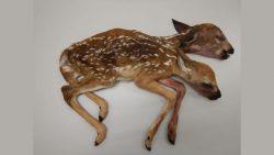 Extraño ciervo de dos cabezas fue encontrado en un bosque