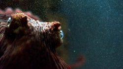 Nuevo estudio científico plantea que los pulpos provienen del espacio exterior