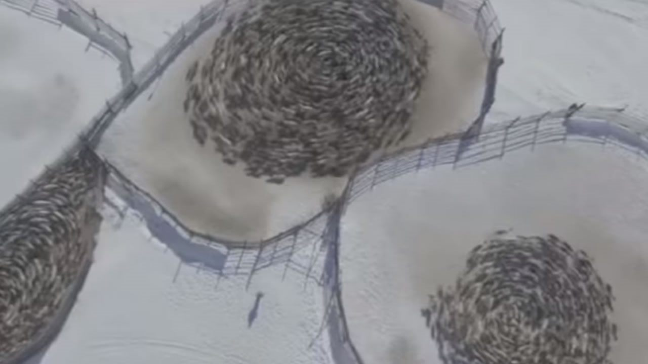 Renos se mueven en círculos en extraña formación en Rusia (Vídeo)