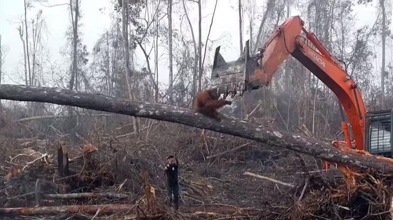 El orangután, al parecer, se da cuenta que sus intentos por salvar su hogar serán en vano, por lo que decide retirarse de la zona.