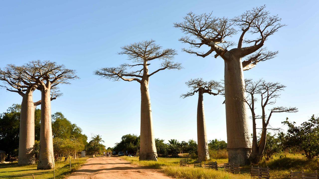 Antiguos árboles Baobab mueren en corto tiempo en África y los científicos no saben por qué