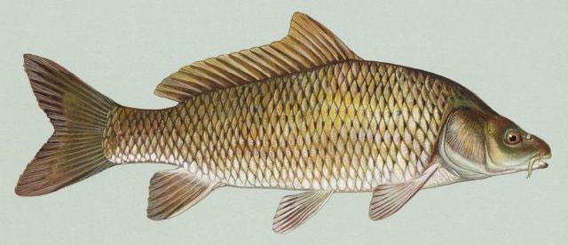 Imagen del pez conocido como «carpa común»