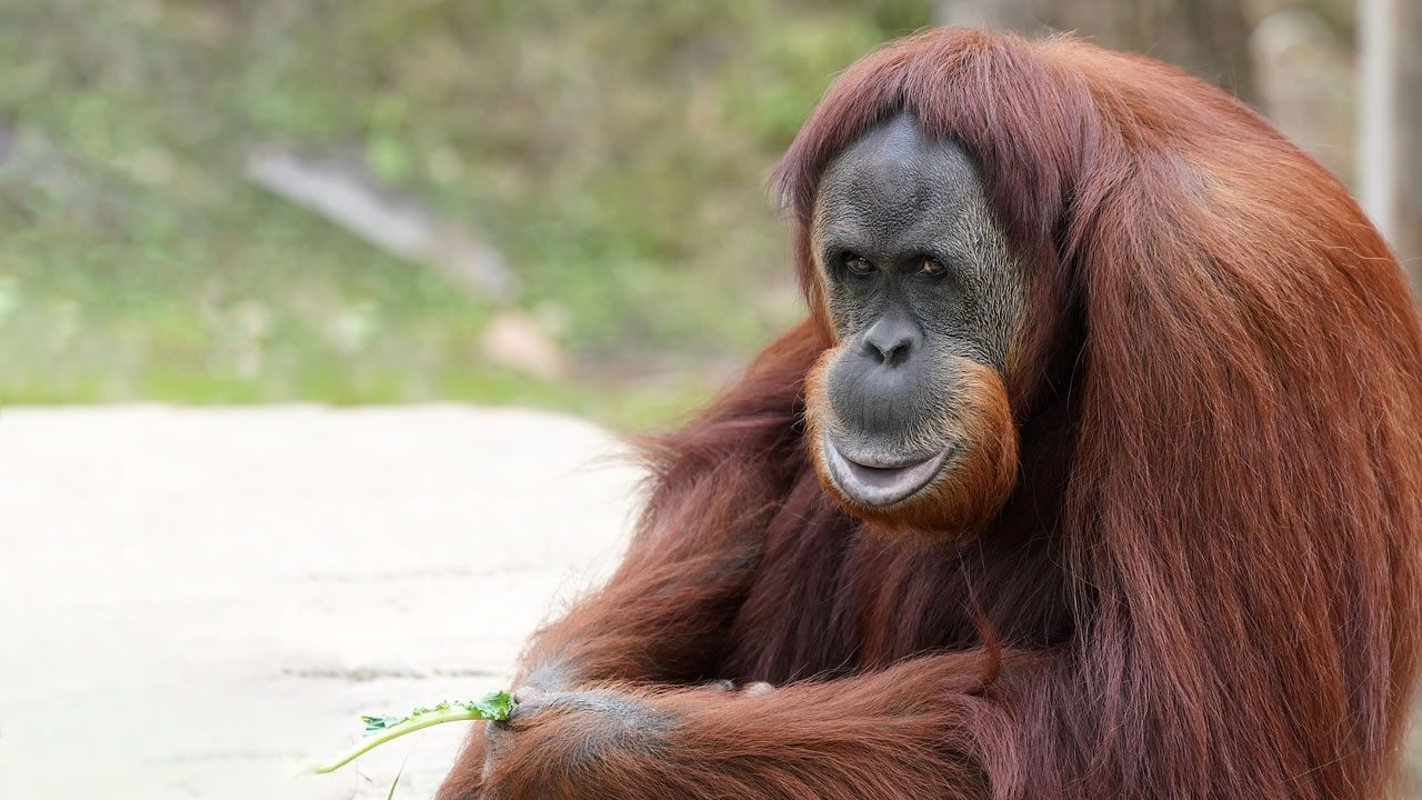 El orangután más viejo de Sumatra ha muerto