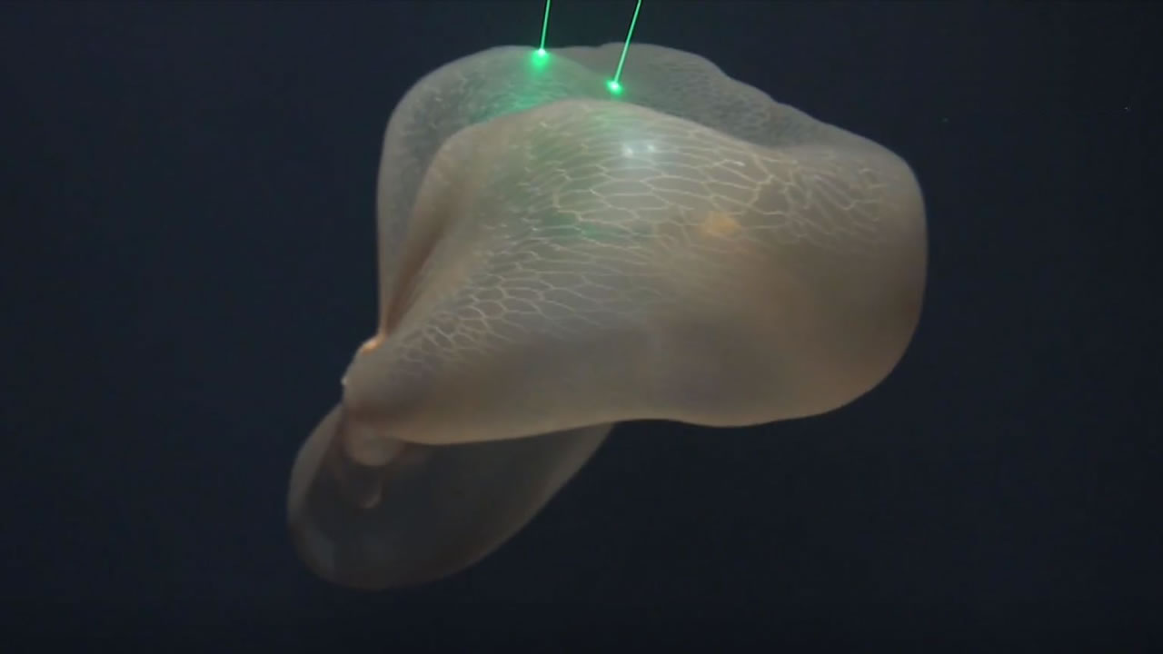 Esta medusa de las profundidades parece el «fantasma de un extraterrestre»