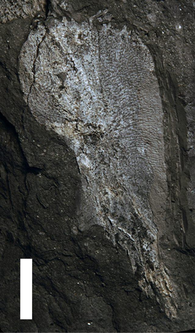 Cleithrum de Umzantsia amazana (escala = 1cm)