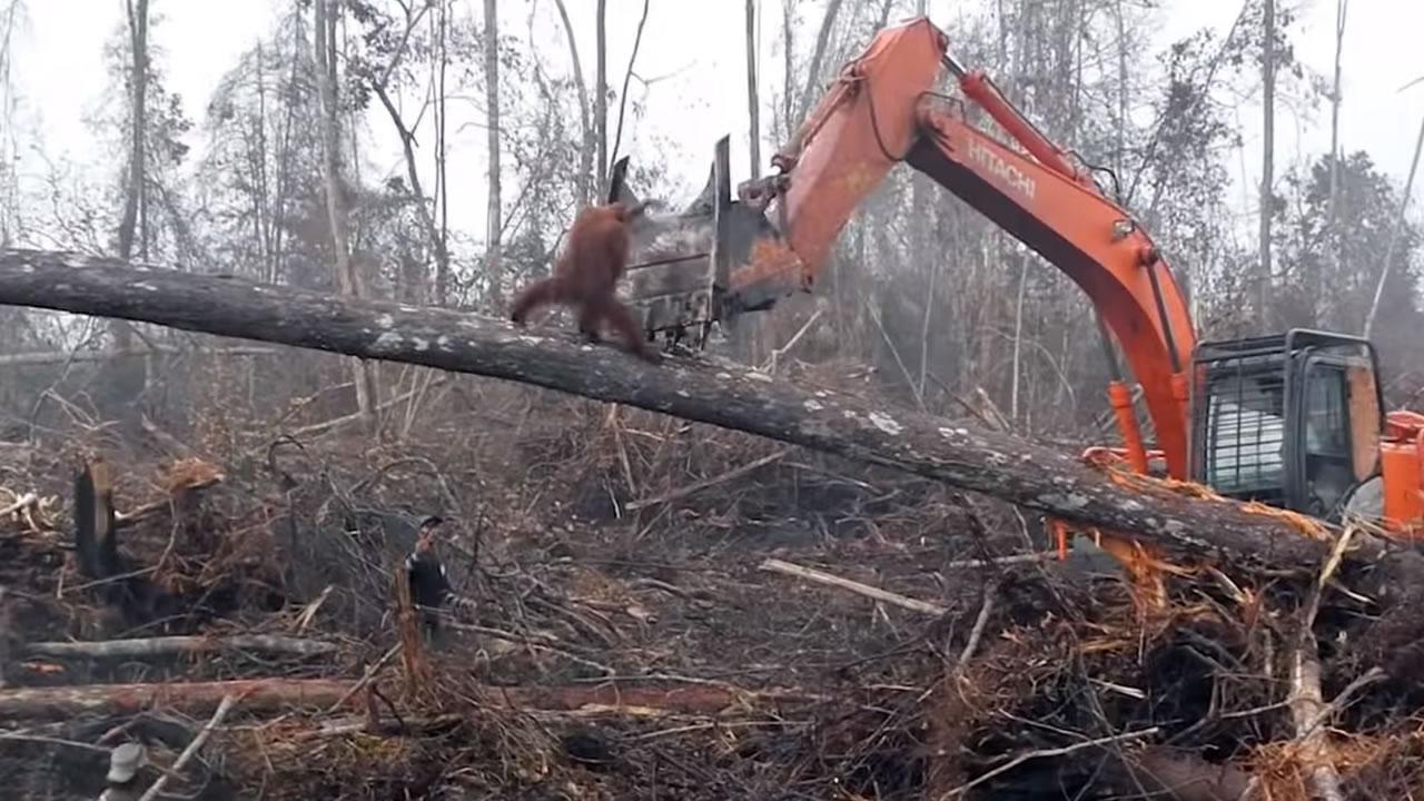 Orangután se enfrenta a excavadora de madereros que destruyeron su hogar