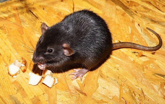 Las autoridades de salud recomiendan no tocar ni manipular roedores silvestres ni sus cadáveres, para evitar contraer la enfermedad