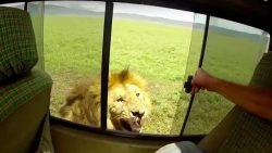 Turista intenta dar palmadas a un león desde un automóvil, casi le cuesta un brazo