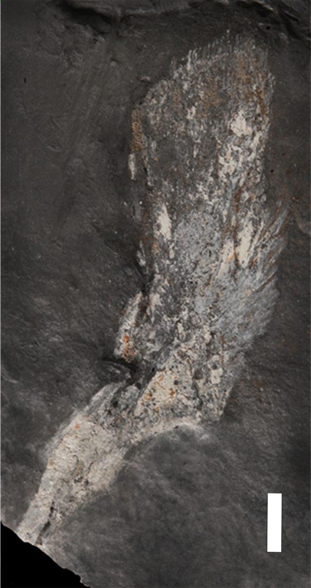 Cleithrum de Tutusius umlambo (escala = 1cm)