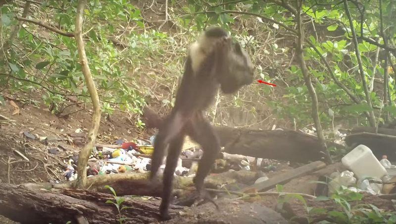 Un mono capuchino de Panamá utiliza una piedra para romper una nuez