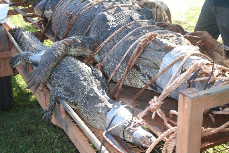 Los guardabosques dijeron que ambos cocodrilos son lo suficientemente grandes como para cazar y matar gente.