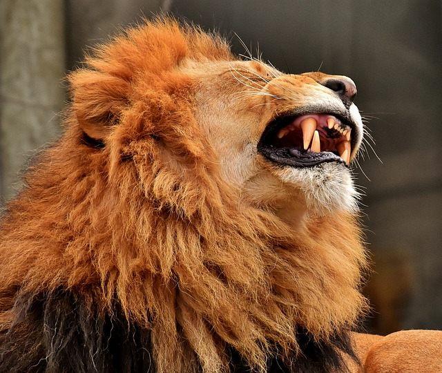 Aunque podrían ser más, los funcionarios creen que los leones devoraron a tres cazadores furtivos. Solo se encontraron algunos pocos restos y las armas con que iban a asesinar a los rinocerontes.