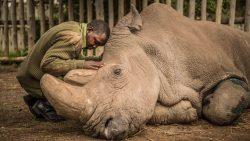 Rinocerontes blancos del norte podrían volver de la casi extinción en tres años