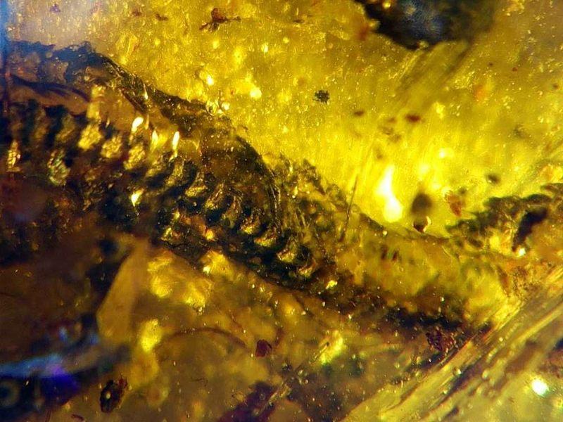 Microfotografía de las vértebras de serpiente y costillas conservadas en DIP-S-0907