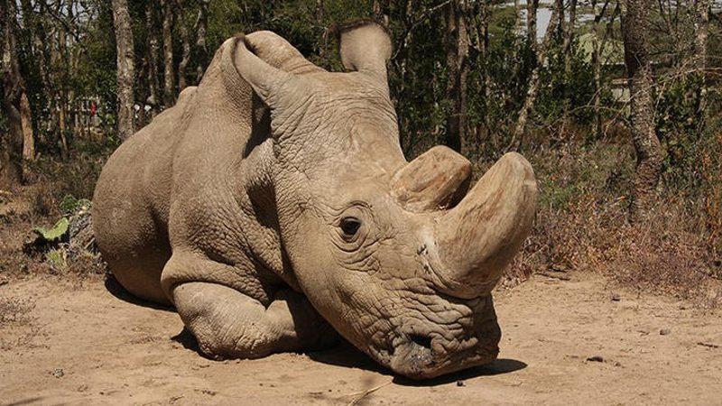 Sudán, fue el último rinoceronte blanco del norte