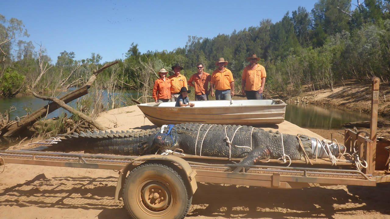 Un cocodrilo gigantesco, de casi 5 metros, es atrapado en Australia