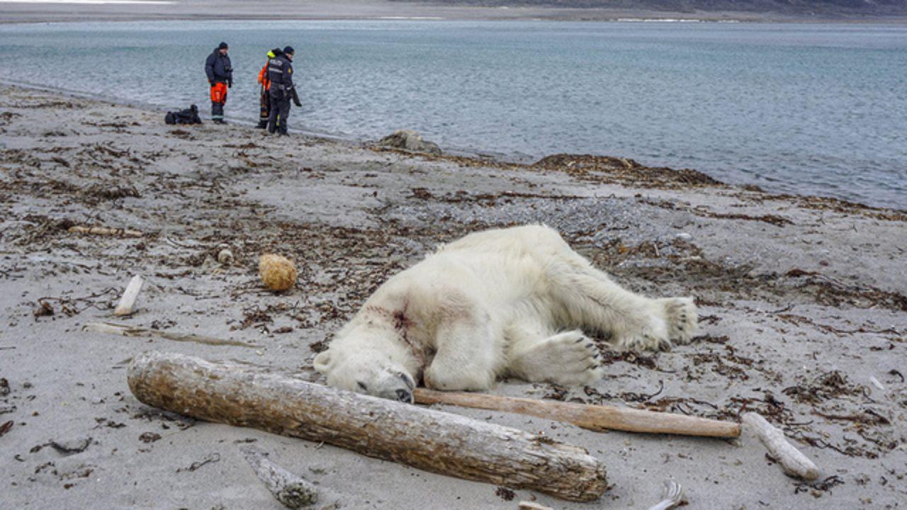 Un oso polar es asesinado a tiros durante un crucero turístico