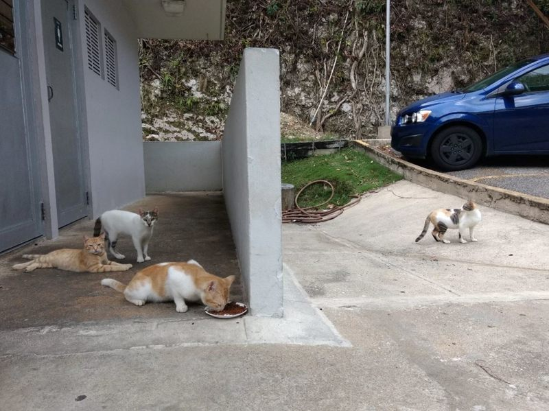 Los gatos se relajan en el estacionamiento del personal en el Observatorio de Arecibo en Puerto Rico (de izquierda a derecha: Mars, Venus, Viejo Tom y Florence)
