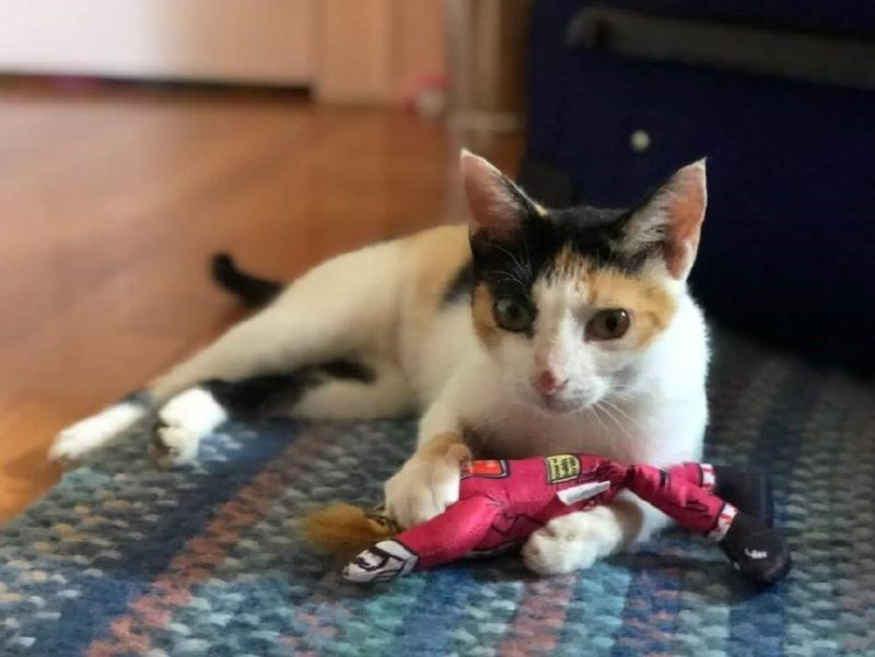 Midas el gato calicó fue encontrado en el Observatorio de Arecibo y fue adoptado por un estudiante.